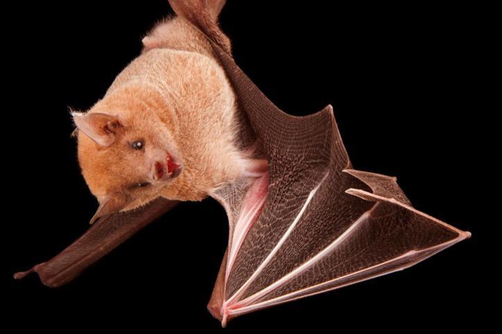 01-lesser-long-nosed-bat-NationalGeographic_2205814.adapt.1190.1.jpg